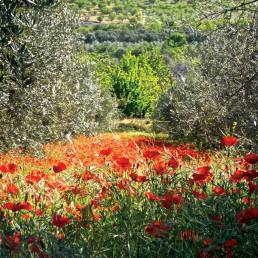 Poppies in Andalucía